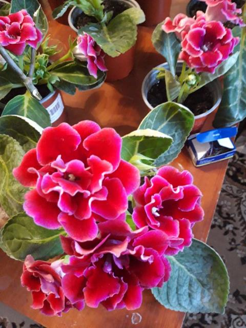 Продам кімнатні рослину - глоксинію