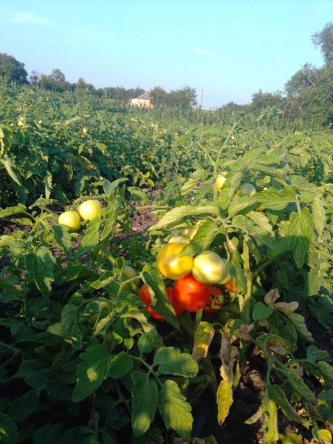 Продам помидоры красные