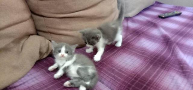 Віддам кошеня або двох кошенят в добрі руки